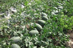 Trung Quốc mở rộng trồng dưa hấu, giảm dần nhập khẩu