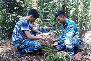 Các đơn vị quân đội giúp dân thu hoạch hồ tiêu