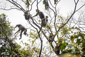 Loạt ảnh hiếm thấy đàn Voọc Chà vá chân nâu ở Rừng quốc gia Bạch Mã