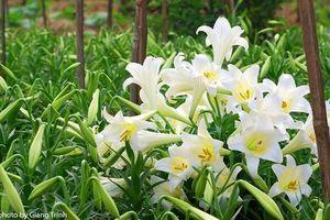 Cảnh giác với những loài hoa đẹp nhưng có chứa chất độc