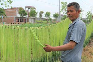 Tận mắt xem cách sơ chế loại rau bán đắt như tôm hùm ở Việt Nam