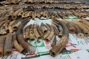 Tất cả ngà voi, vảy tê tê bị bắt giữ tại Hải Phòng trong danh mục cấm