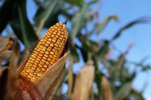 Thị trường nông sản tuần qua khá ảm đạm