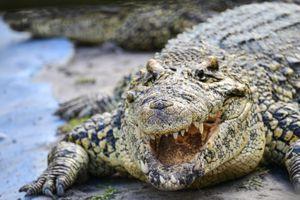 Cá sấu sông Nile và 7 loài động vật đáng sợ nhất khi đến châu Phi