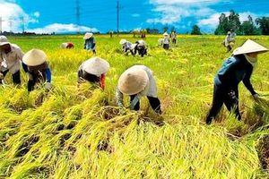 Giá lúa giảm, Thủ tướng yêu cầu 'phải mua sớm' 200.000 tấn gạo dự trữ