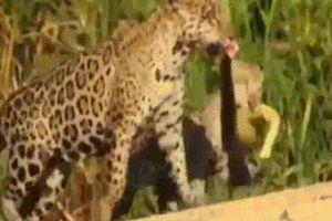 Hai mẹ con báo đốm 'làm thịt' quái vật đầm lầy ở Brazil