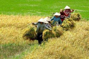 Cần tìm thị trường mới để tiêu thụ lúa dài hơi cho nông dân