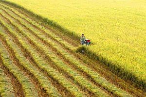 Lúa gạo vẫn loay hoay 'tính chuyện đường dài'