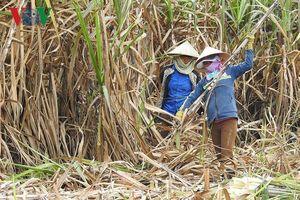 Những tín hiệu vui từ vùng nguyên liệu mía đường ở Đắk Lắk
