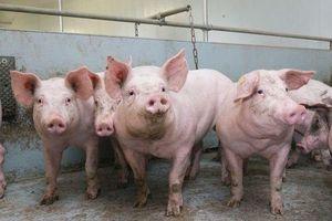 Học viện Nông nghiệp Việt Nam đã giải trình tự thành công gen của virus gây bệnh Dịch tả lợn châu Phi