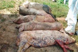Xét nghiệm miễn phí để ngăn chặn dịch tả lợn châu Phi lây lan