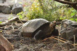 Loài rùa Galapagos 'tuyệt chủng' được tìm thấy sau 100 năm