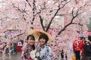 Lễ hội hoa anh đào Nhật Bản – Hà Nội 2019 có gì đặc biệt?