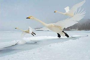 Thiên nga trú Đông vượt 4.000km bay trở về Siberia