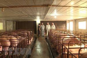 FAO Việt Nam hỗ trợ kiểm soát dịch bệnh tả lợn châu Phi