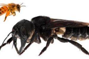Loài ong lớn nhất thế giới lộ diện sau gần 40 năm