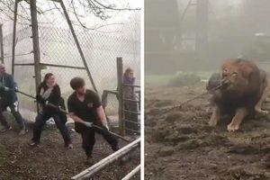 Vườn thú bị chỉ trích vì cho khách chơi kéo co với sư tử