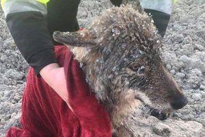 3 công nhân cứu sói đông cứng dưới băng vì nhầm là chó