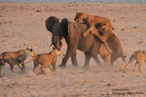 Voi con đơn độc đương đầu với 14 con sư tử
