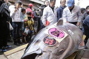 Chính vì điều này cá ngừ ở Nhật có giá triệu đô là bình thường