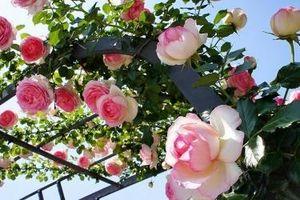 Chương trình 'Hoa hồng Bulgaria 2019' sẽ diễn ra đầu tháng 3