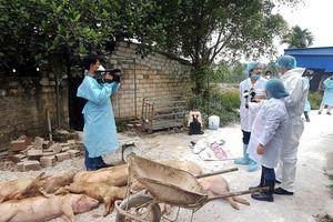 Hải Phòng kiểm soát, tiêu hủy đàn lợn bị dịch tả châu Phi