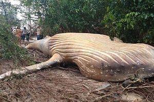 Bí ẩn xác cá voi khổng lồ nằm trong... rừng