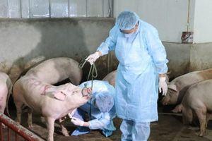 Thanh Hóa tiêu hủy 226 con lợn bị dịch tả lợn châu Phi
