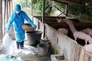 Lợn bị tiêu hủy do dịch tả châu Phi, người chăn nuôi có được hỗ trợ?
