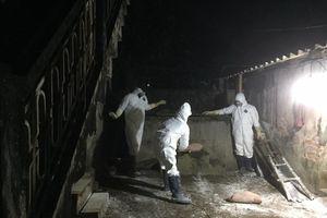 Thái Bình: Tiêu hủy 273 con lợn mắc dịch tả lợn châu Phi