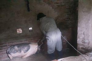 Thái Bình: Số lợn bị tiêu hủy vì dịch tả tiếp tục gia tăng