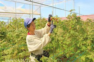 Nông trại trồng loại quả 'thần kỳ', ăn 1 vài trái là tỉnh cả người