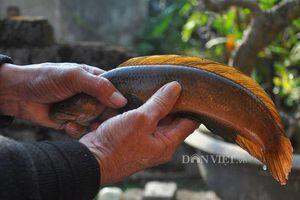 Cá cửng: Đặc sản chỉ dành cho Vua siêu quý hiếm ở đất Ninh Bình