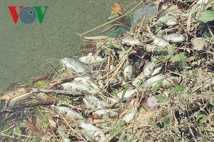 Cá chết dày đặc trên tuyến kênh thủy lợi tại Quảng Nam