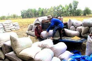 Giá lúa gạo đã tăng lên đáng kể