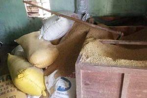 Giấu 49 cây vàng trong đống lúa vẫn bị kẻ gian khoắng sạch