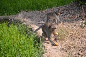 Bầy khỉ hoang đại náo vùng quê, nhiều trẻ bị tấn công