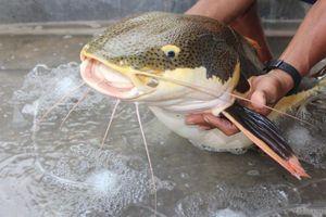 Lão ông Bạc Liêu bất ngờ khi bắt được 'thủy quái' vùng Amazon nặng 15kg