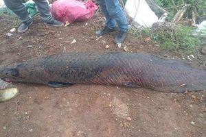 Hà Nội: Sự thực về thông tin bắt được cá 'khủng' 110kg ở sông Nhuệ