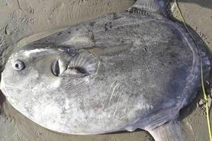 Cá kỳ lạ lần đầu dạt đến Bắc Mỹ