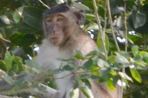 Truy bắt bầy khỉ hoang 'đại náo' Sóc Trăng