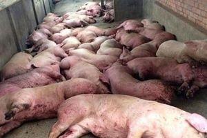 Dịch tả lợn châu Phi nguy hiểm thế nào, có lây sang người không?