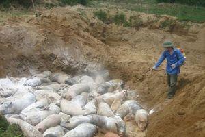 Dịch tả lợn Châu Phi lan rộng – xu hướng Nam tiến