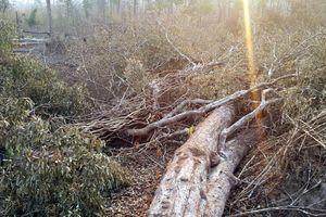 Điều tra vụ phá rừng ở vùng biên giới sau khi phản ánh