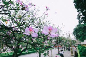 Đẹp ngỡ ngàng 'rừng' hoa ban giữa lòng Thủ đô