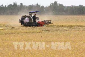 Giá lúa thương phẩm tăng nhẹ