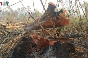Cục Kiểm lâm chỉ đạo xử lý vụ phá rừng vành đai biên giới Gia Lai