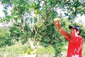 Phát triển cây có múi: Cần thực hiện nhiều giải pháp đồng bộ