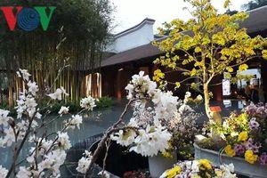 Rực rỡ Lễ hội Hoa Anh đào - Mai vàng Yên Tử 2019