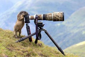 Sóc Marmota háo hức học mót nghề của nhiếp ảnh gia
